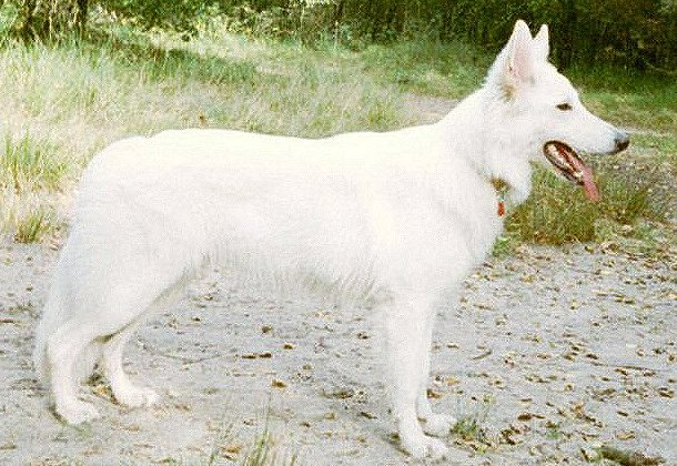 de witte duitse herder